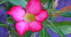 Adenium Somaelense